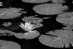 waterlillies1